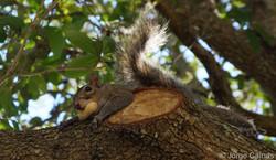 Squirrel No.2 Portrait No.1