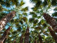 Palm Firest