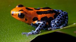 poison-dart-frog-orange-blue