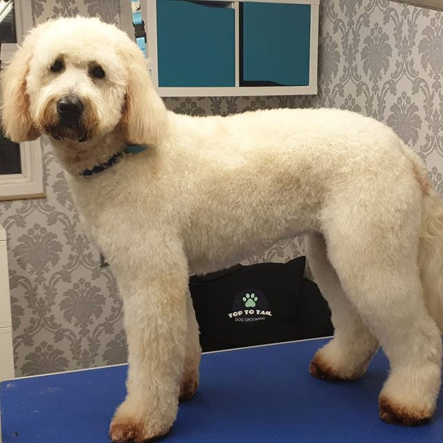 Bootiful Daisy dog 😍🐶😍_#goldendoodle