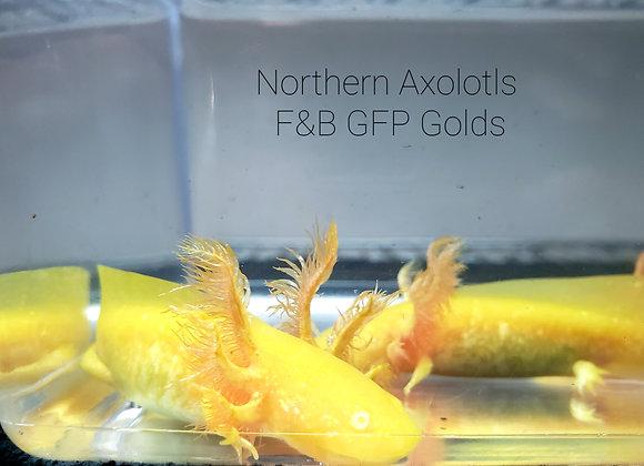 "3-4"" RLG GFP Gold, High Iridisphore - F&B"