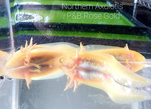 "3-4"" Gold axolotls, high iridisphore-P&B"