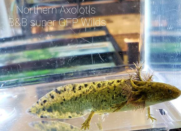 """3-4"""" Super GFP Wild axolotl"""