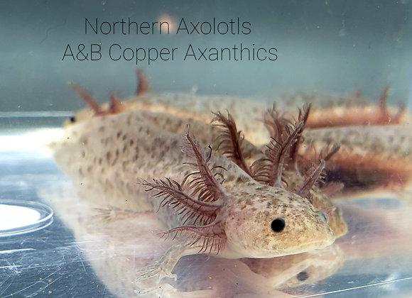 "4-5"" Copper Axanthics, A&B"