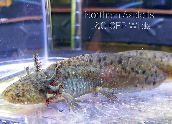 """4-5"""" GFP Wilds, L&G"""