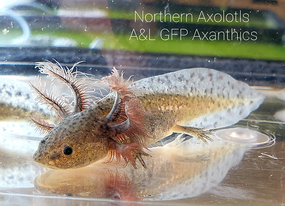 3-4' GFP Axanthic, light-A&L