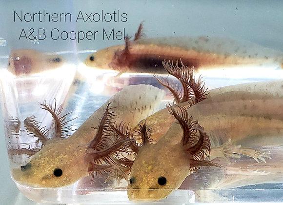 """4-5"""" Copper Mels, A&B"""
