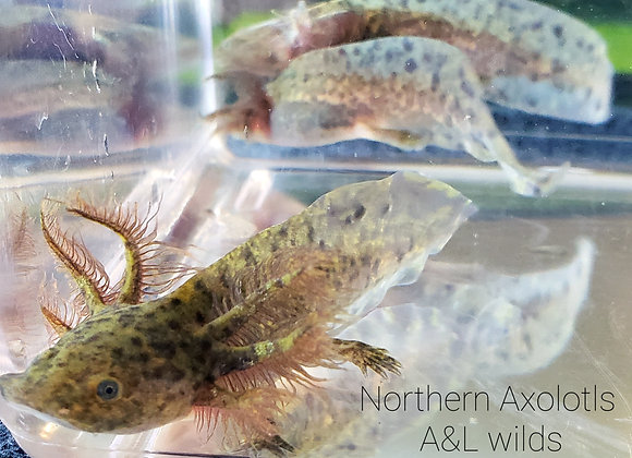 """3-4"""" Light spotted wilds-A&L"""
