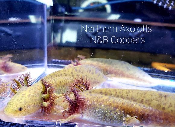 """3-4"""" Copper baby N&B"""