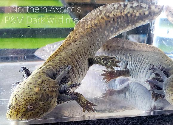 7-8 inch  Dark Wild boys axolotls-P&M