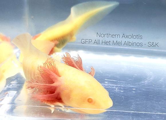 """4-5"""" All Het GFP Mel Albino - S&K"""