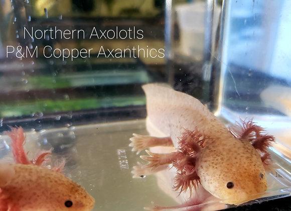6-7 inch Copper Axanthic axolotls