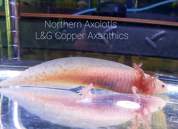 "4-5""  Copper Axanthics, L&G"