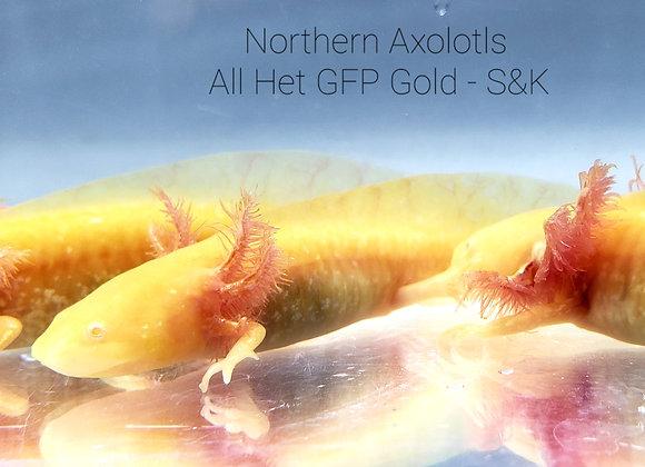 """4-5"""" All Het GFP Gold - S&K"""