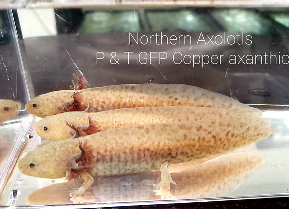 5-6 inch GFP Copper Axanthic