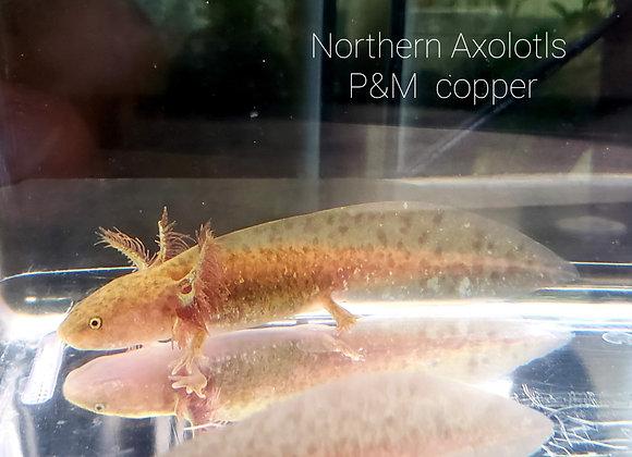 4-5 inch Copper axolotls