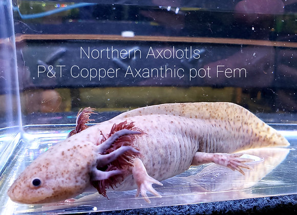 Copper Axanthic Pot Female Yr olds,  P&T