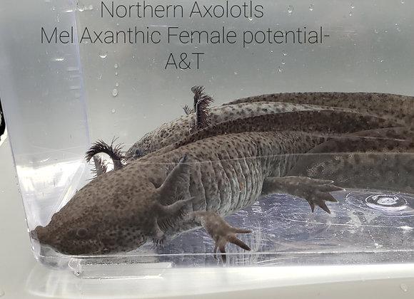 "8ish"" Mel Axanthic pot Female - A&T"