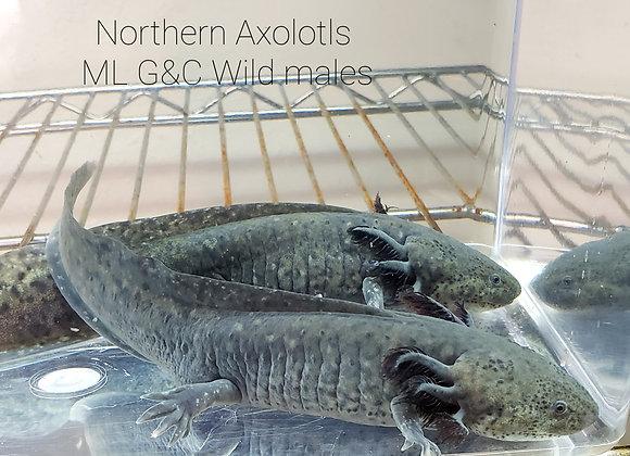 Wild Male-ML G&C