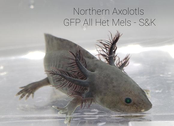 """5"""" GFP All Het Mel-S&K"""