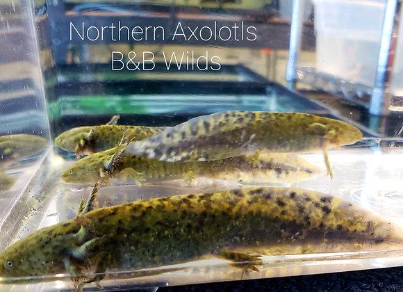 """3-4"""" Wild axolotl"""