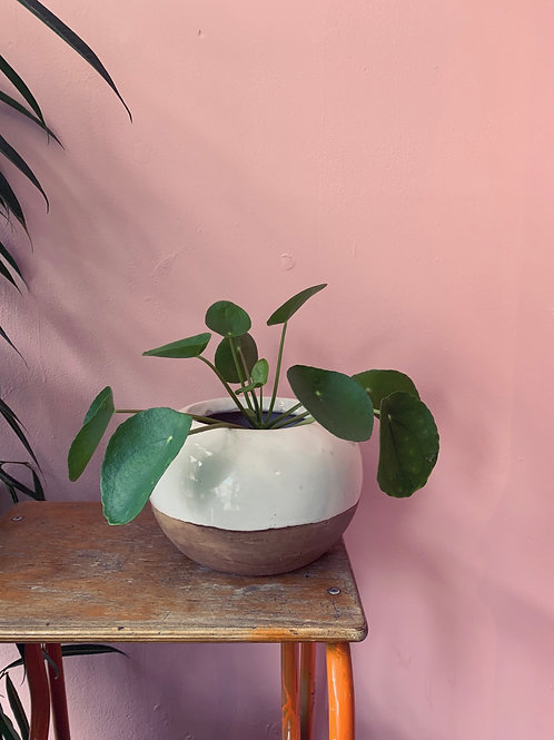 Pilea in two tone pot