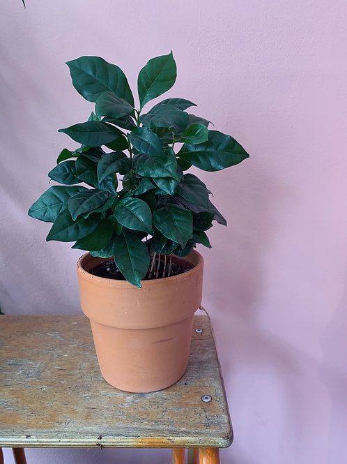 Coffee plant in pot