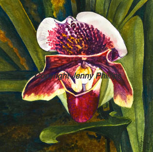 Burgundy Lady Slipper