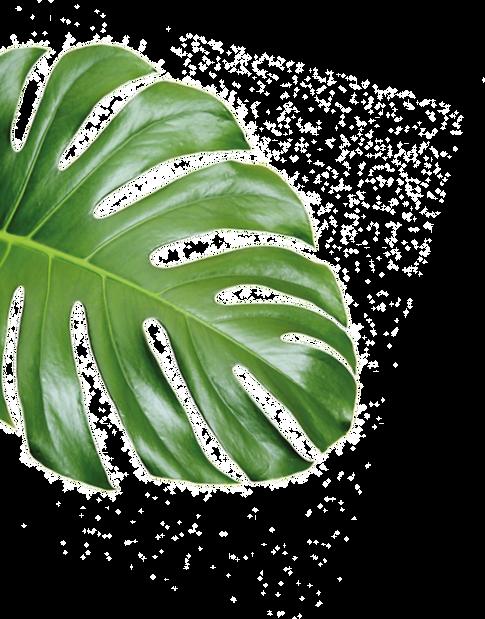 Monstera Leaf cut.png