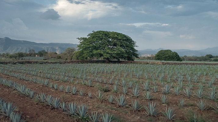 agave fields.jpg