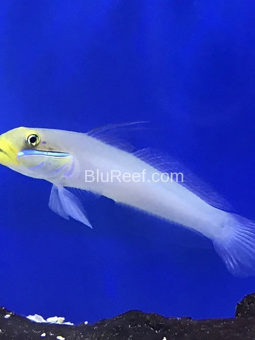 Gold Head Sleeper Goby (Valenciennea strigata)