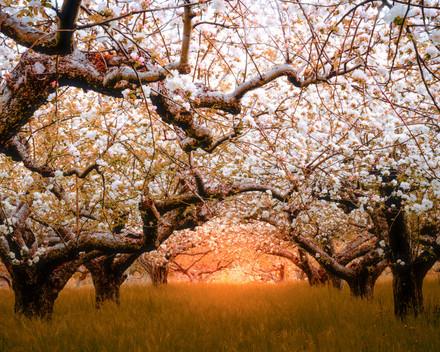 ravlunda blossom orchard 7.jpg