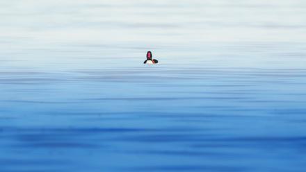shelduck minimalist.jpg