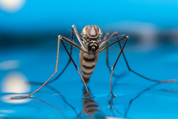 Mosquitoes: Swimming pool bugs