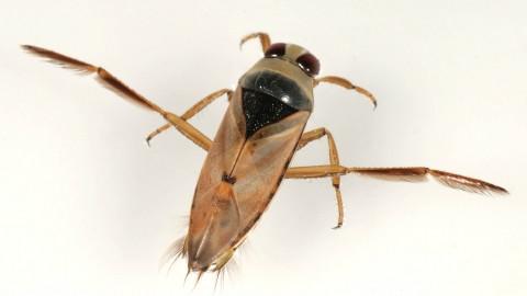 Backswimmer:  swimming pool bugs