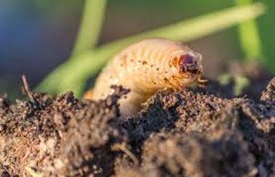 Grub Worm Control.jpg
