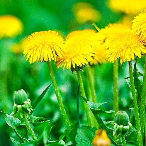 Tarassaco, fiori (depurativi e diuretici)