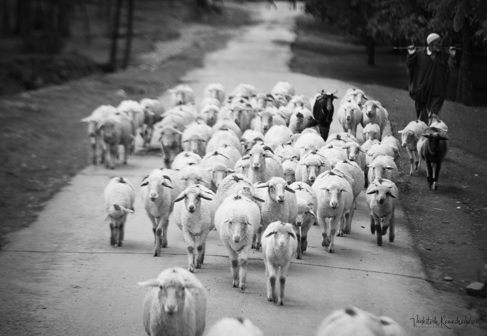The Shepherd and his sheeps
