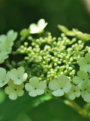 Viorne obier en fleurs