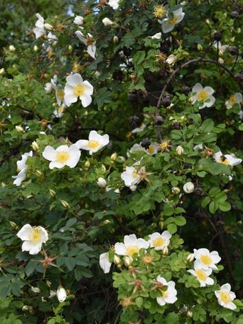 Eglantier en fleurs