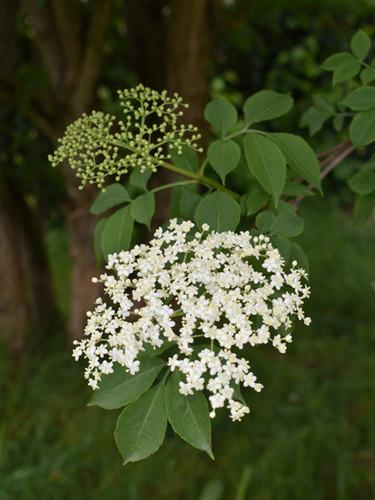 Sureau noir en fleurs