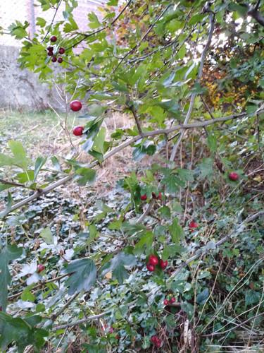 Aubépine épineuse en fruits
