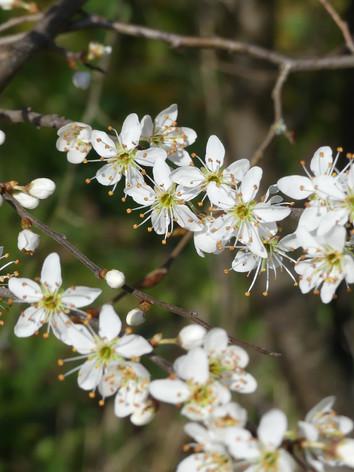 Prunellier ou épine noire en fleurs