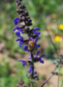 Salvia_pratensis_3.JPG