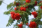 sorbier des oiseleursdorotawronska-36247