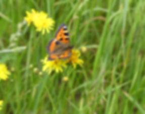 papillon petite tortue @avpn