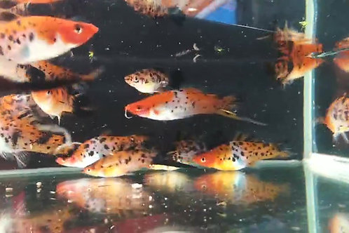Showa Swordtails      Trio (1M, 2 F)  Adult Size