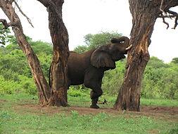 Elephant zwischen Bäume im Wald