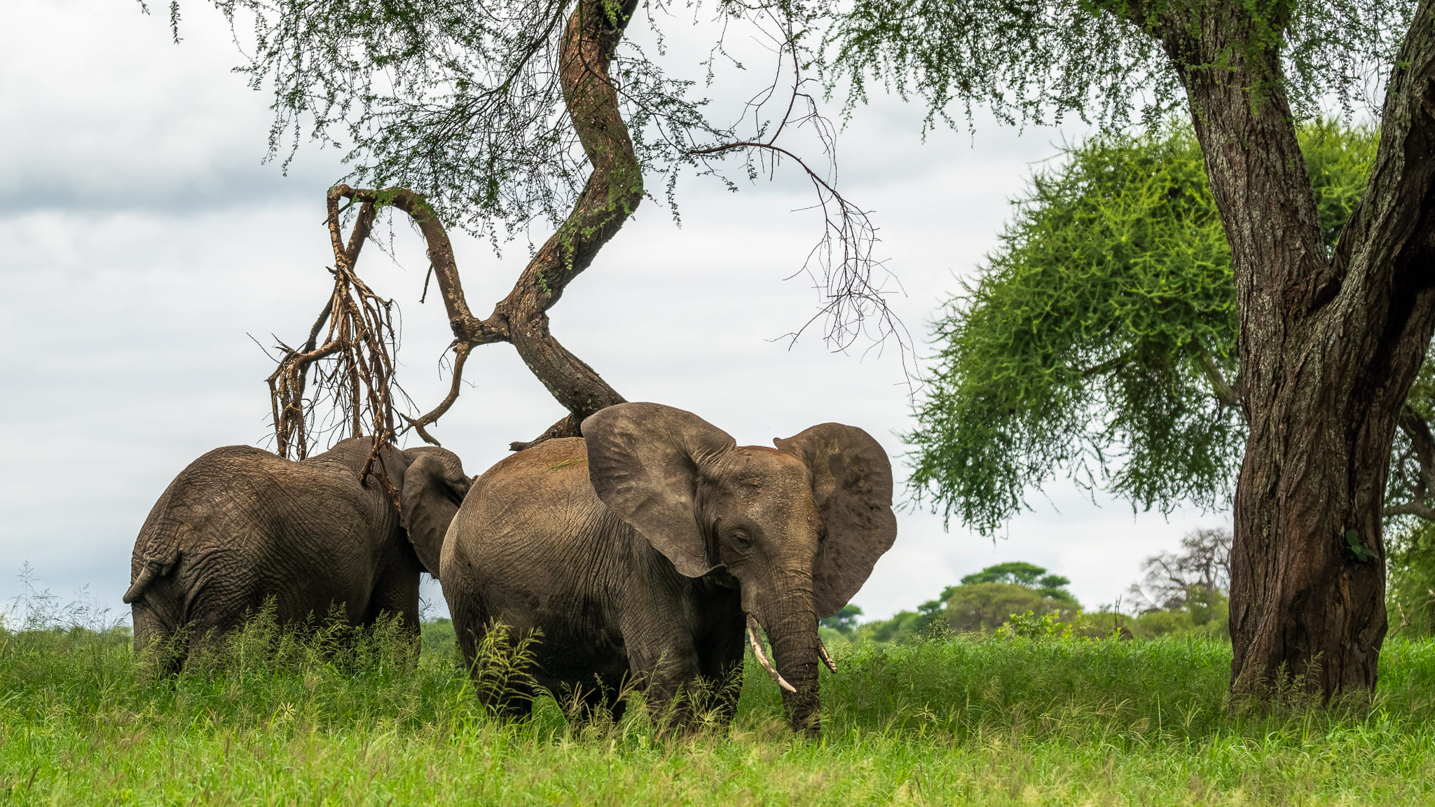 Elephants in front of trees