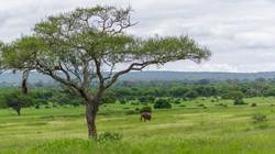 elephant in front of savanne